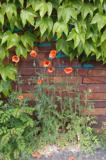 Urban Poppies