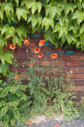 Urban Poppies